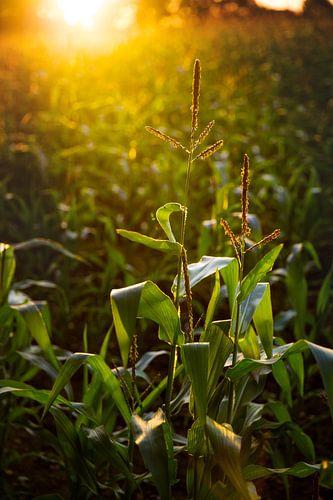 Maisveld tijdens zonsondergang van