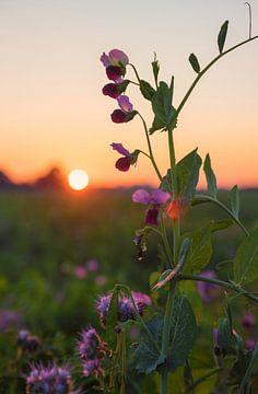 Erbsenblüten im Abendlicht von Susanne Bauernfeind