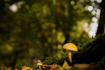 paddenstoel in het bos van Fotografie Krist / Top Foto Vlaanderen