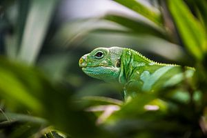 Groen Reptiel van