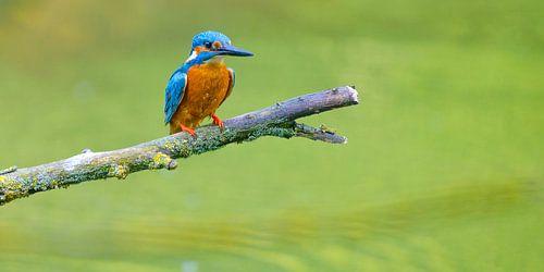 IJsvogel zittend op een tak met uitzicht op een kleine vijver