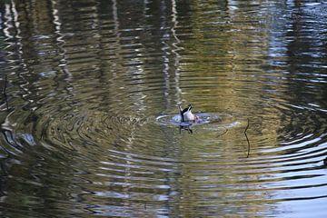 Plongée avec des canards sur Yana Koolen