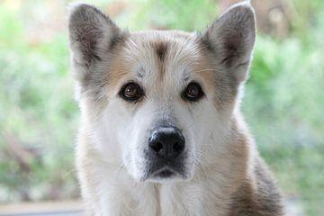 Kop van Siberische husky van Ans van Heck