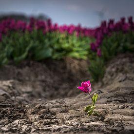 Ausgewählte Tulpe im Feld von Fotografiecor .nl