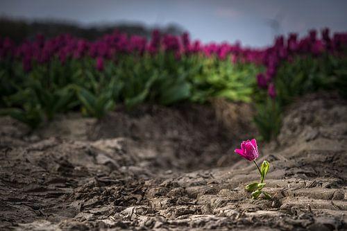 Uitgelichte tulp in het veld