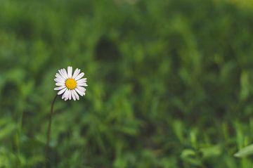 Das einsame Gänseblümchen von Dennis  Georgiev