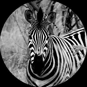 Zebra in zwart wit van Natascha Nellestein