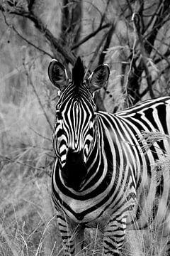 Zebra in schwarz-weiß von Natascha Nellestein