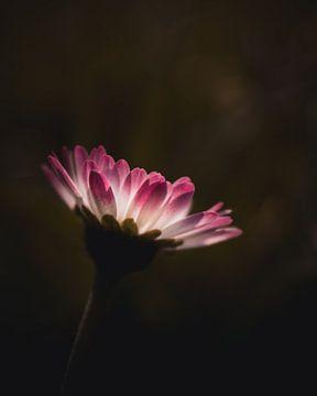 Kleines rosa Gänseblümchen von Sandra Hazes