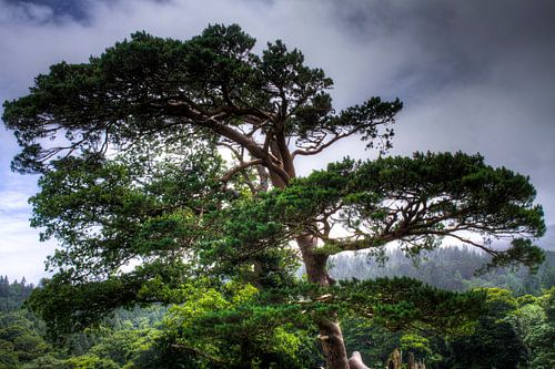 Tree overlooking Muckross Lake, Killarney National Park, Ireland van