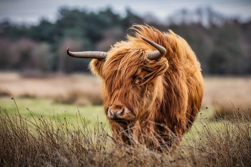 Schottischer Highlander im Sturm von John van den Heuvel