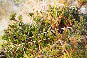 Cranberry plant van Mark Scholten