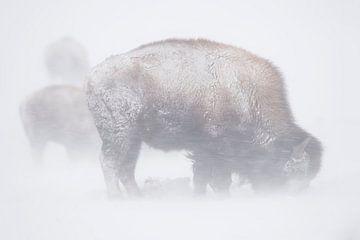 Amerikaanse Bison ( Bison bizon ) dapper een sneeuwstorm, wilde dieren, Yellowstone NP, USA in sterk van wunderbare Erde