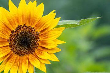 Gele zonnebloem van JM de Jong-Jansen