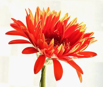 Oranje Gerbera 3 von Jonathan Kremer