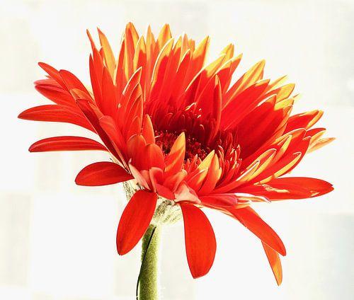 Oranje Gerbera 3 van Jonathan Kremer
