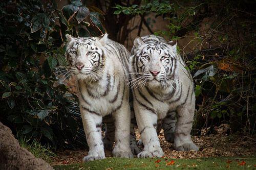 Weiße Tiger van