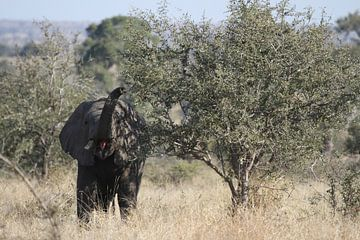 Etende olifant sur Jeroen Meeuwsen