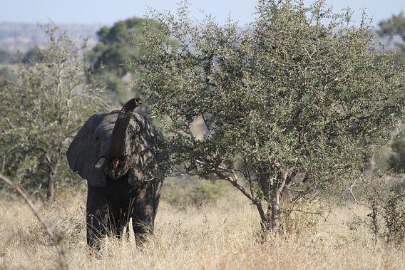 Etende olifant van Jeroen Meeuwsen
