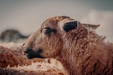 Ein Schafskopf von der Seite von John Quendag