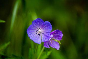 Blume blau von Michael van Eijk