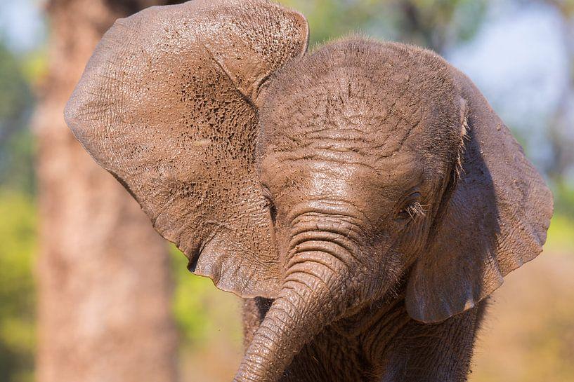 Kalfje olifant van Francis Dost