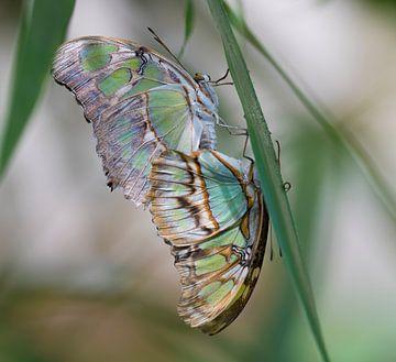 Malachietvlinder von Ingrid Ronde