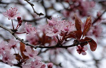 Bloesem van de Japanse sierkers (prunus) van Tineke Laverman