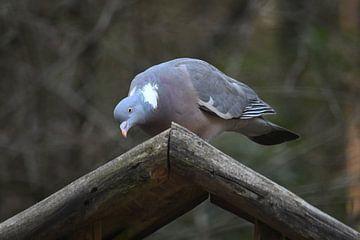 Taube auf einem Zubringer von Ton Kuijpers