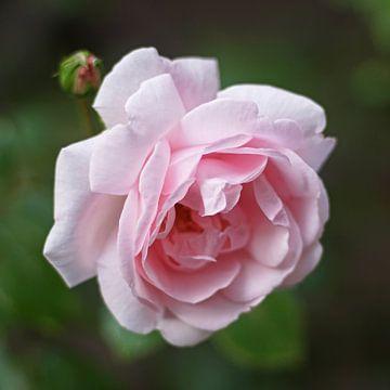 Rose sur Barbara Brolsma