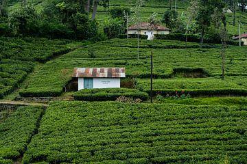 Theevelden in Sri Lanka van Geerke Burgers
