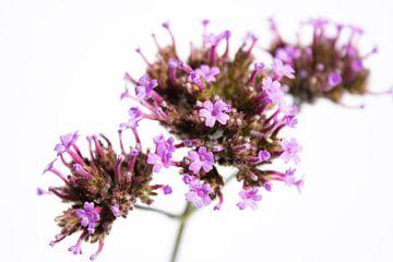 Kleine lila tanzen von Lynlabiephotography