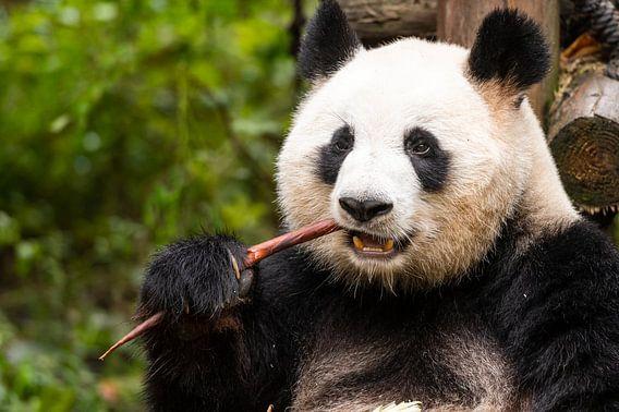 Etende Panda in Chiana