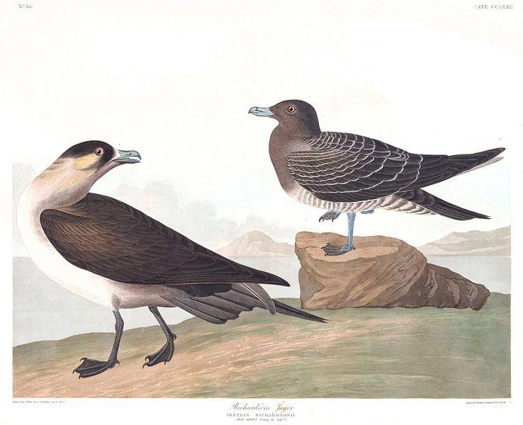 Kleine Jager van Birds of America