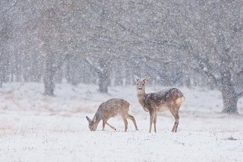 Grazende reeën tijdens hevige sneeuwval