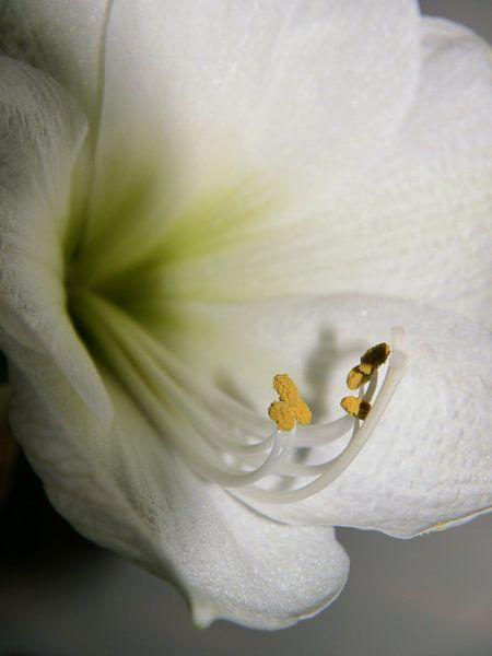 Close up van een witte amaryllis, Close up of a white amaryllis,  Nahaufnahme einer weißen Amaryllis van Evelien Brouwer