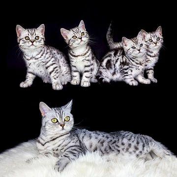 Groep jonge zwart zilver tabby katten met volwassen moeder geïsoleerd op zwarte achtergrond van Ben Schonewille