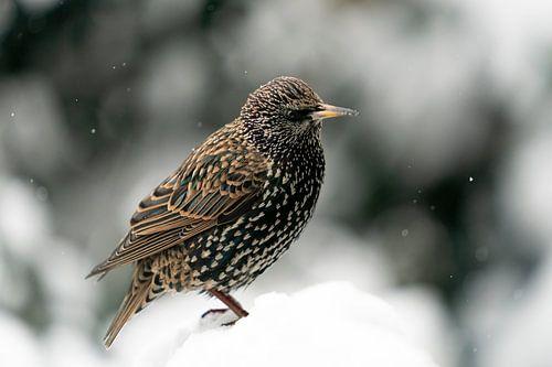 Spreeuw in de sneeuw