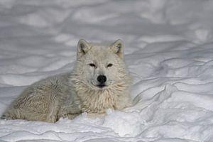 Loup blanc sur neige