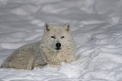 Loup Arctique au Repos van Renald Bourque