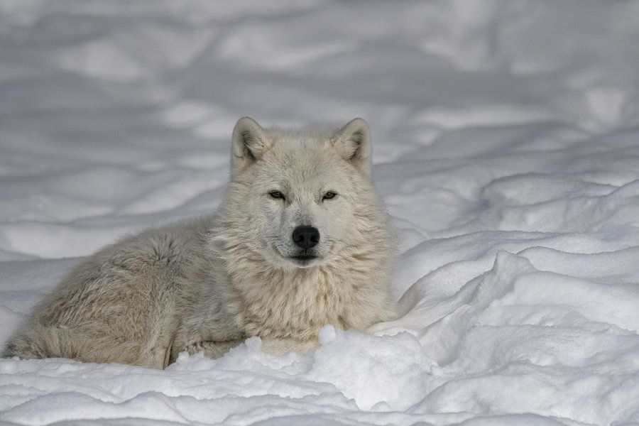 Loup Arctique au Repos