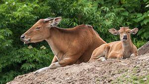 banteng : Koninklijke Burgers' Zoo van Loek Lobel
