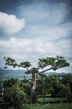 Cuban tree van Raf Verbraeken
