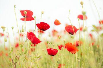 Atmosphärisches Bild mit ein paar Mohnblumen von Caroline van der Vecht
