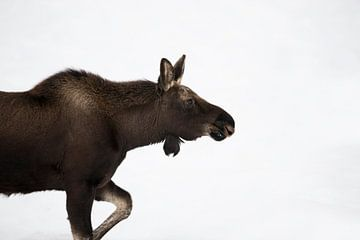 Moose *Alces alces* van