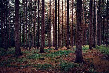 Schemering in het sparrenbos van
