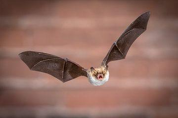 Vliegende Franjestaart vleermuis van Rudmer Zwerver