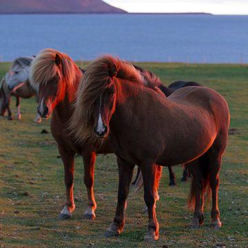 IJslandse paarden in avondlicht van Menno Schaefer
