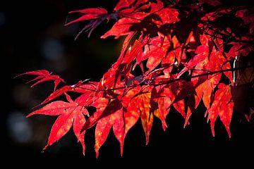 Japanse Esdoorn in de Herfst van Portrait of Holland