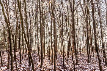 Bomen in het bos van Willy Sybesma
